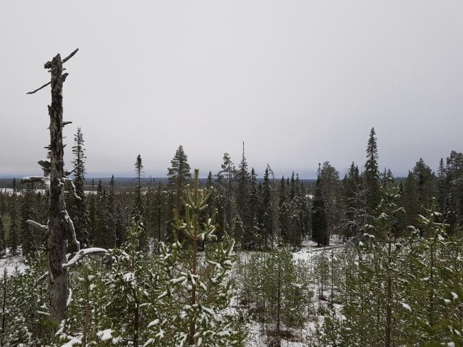 Valtion metsää Kuusamossa.jpg